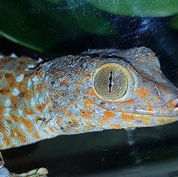 Gekko gekko